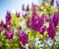 Schöne bunte lila Blüten an einem vollen Tag Blühender Hintergrund der Flieder Selektiver Fokus Stockfoto