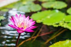 Schöne bunte Lotosblume im Wasser stockfotos