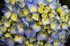 Schöne bunte purpurrote und gelbe Blume Lizenzfreie Stockbilder