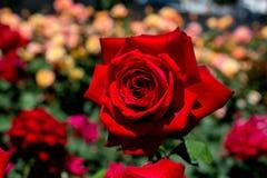 Schöne bunte Rose Flower Lizenzfreies Stockfoto
