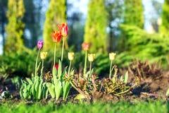 Schöne bunte Tulpen auf Blumenbeet am Haushinterhof am hellen sonnigen Tag Landschaftsgestaltung des Designs und Gartenarbeit Lizenzfreies Stockfoto