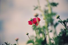 Schöne bunte Tulpen- und Irisblumen stockbilder