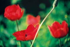 Schöne bunte Tulpen- und Irisblumen stockbild