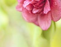 Schöne Camellia Macro Stockbild