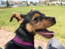 Schöne Chihuahua Yorkie Lizenzfreies Stockbild