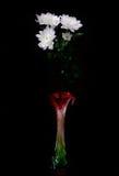 Schöne Chrysantheme Stockfoto
