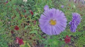 Schöne Chrysantheme stock footage
