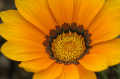 Schöne Chrysanthemen Stockfoto