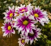 Schöne Chrysanthemenblume von der Draufsicht Lizenzfreie Stockbilder