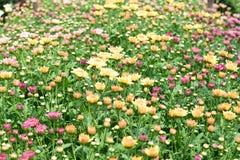 Schöne Chrysanthemenblumen, die in der Anlage blühen Lizenzfreies Stockfoto