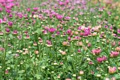 Schöne Chrysanthemenblumen, die in der Anlage blühen Stockbilder