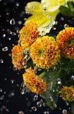 Schöne Chrysanthemenblumen mit Wassertropfen Lizenzfreie Stockfotografie