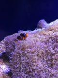 Schöne Clownfish-Schwimmen auf Teppich-Anemone stockfotos