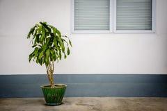 Schöne Crotonanlage neben den Fenstern Stockfoto