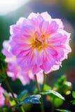 Schöne Dahlie im Garten auf einem Unschärfehintergrund stockfotografie