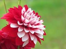 Schöne Dahlieblume, arbeitend im Garten stockfoto
