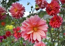 Schöne Dahlien mit Tropfen des Taus auf den Blumenblättern stockfoto