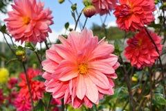Schöne Dahlien mit Tropfen des Taus auf den Blumenblättern stockfotografie