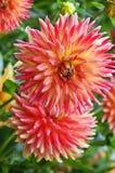 Schöne dalhia Blumen im Garten Lizenzfreies Stockbild