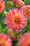 Schöne dalhia Blumen im Garten Stockfotos