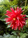 Schöne Dalia-Blume stockfotos