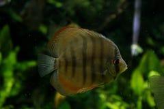 Schöne Diskusfische in einem Frischwasseraquarium lizenzfreie stockbilder