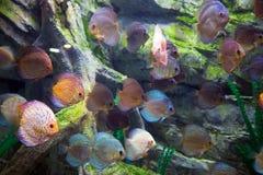 Schöne Diskusfische im Wasser Lizenzfreie Stockfotos