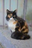 Schöne dreifarbige grünäugige flaumige Katze Stockbilder