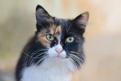 Schöne dreifarbige grünäugige flaumige Katze lizenzfreie stockfotos