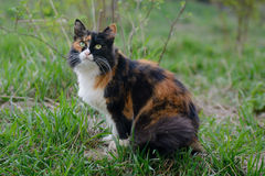 Schöne dreifarbige grünäugige flaumige Katze auf dem Gras stockfotografie