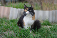 Schöne dreifarbige grünäugige flaumige Katze auf dem Gras Lizenzfreie Stockbilder