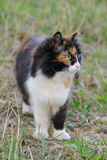 Schöne dreifarbige grünäugige flaumige Katze auf dem Gras Stockfotos