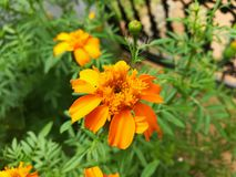 Schöne dunkle gelbe Blume Tagetes stockfotos