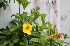 Schöne dunkle gelbe Blume vor Haus des bangladeschischen Gartens lizenzfreie stockbilder