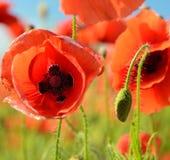 Schöne durchgebrannte Knospenmohnblume und nahe hohe Mitte der Mohnblume eines Feldes O Stockfotos
