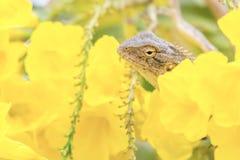 Schöne einfarbige bärtige durchschnittliche gelbe Blumen der Dracheeidechse lizenzfreie stockfotografie