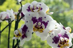 Schöne einzelne Blume der weißen und rosa Orchidee in Blüte Innenphalaenopsis, punktiert mit den hellgelben Blumenblättern, grüne lizenzfreie stockbilder