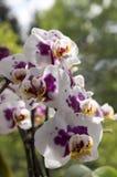 Schöne einzelne Blume der weißen und rosa Orchidee in Blüte Innenphalaenopsis, punktiert mit den hellgelben Blumenblättern stockfotos