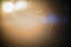 Schöne einzelne Blume Tridax-procumbens, mexikanisches Gänseblümchen am Sonnenuntergangmoment Lizenzfreie Stockbilder