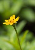 Schöne einzelne Blume wenigen gelben Sternes (Melampodium divaricatum) im tropischen Wald Lizenzfreie Stockfotos