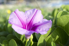 Schöne einzelne rosa Blume der Fußkriechpflanze der Ziege oder der Strandwinde Lizenzfreie Stockbilder