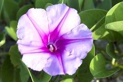 Schöne einzelne rosa Blume der Fußkriechpflanze der Ziege oder der Strandwinde Lizenzfreies Stockfoto
