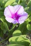 Schöne einzelne rosa Blume der Fußkriechpflanze der Ziege oder der Strandwinde Lizenzfreies Stockbild