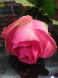 Schöne einzelne Rosarose Lizenzfreies Stockbild