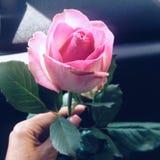 Schöne einzelne Rosarose Stockfotografie