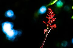 Schöne einzelne rote Acanthaceaeblume auf seiner Niederlassung lokalisiert auf dunklem Hintergrund in einer Frühlings-Saison an e Stockfoto