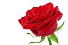 Schöne einzelne Rotrosenblume. Lokalisiert. lizenzfreie stockfotos