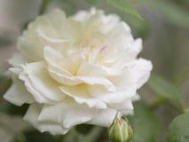 Schöne einzelne Weißrose Lizenzfreies Stockfoto