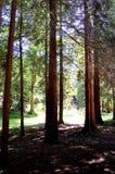 Schöne, einzigartige, schön beleuchtete Waldreinigung Stockfotografie