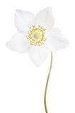Schöne empfindliche Blume Stockfotografie